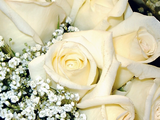 White roses picture white rose picture mightylinksfo