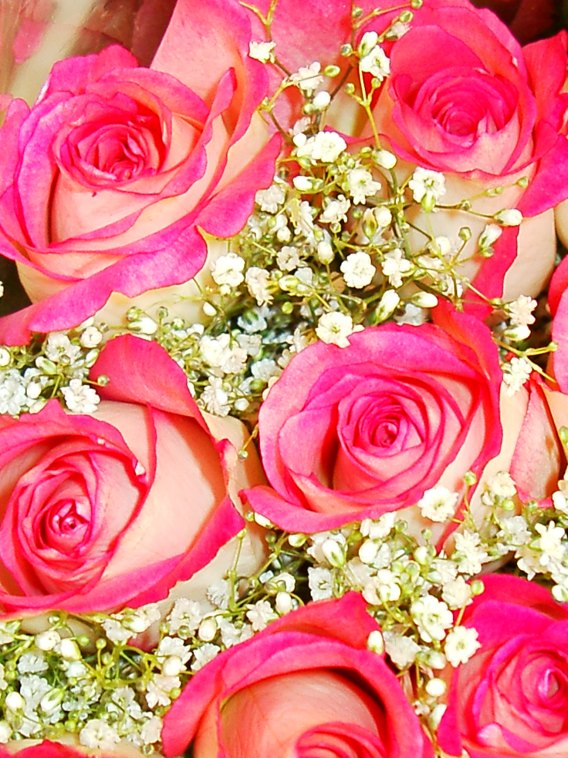 pink and white roses. Pink and white rose picture